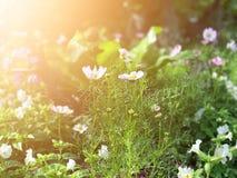 Foyer sélectif de fleur blanche de cosmos et fond de tache floue image stock