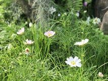 Foyer sélectif de fleur blanche de cosmos et fond de tache floue photographie stock libre de droits