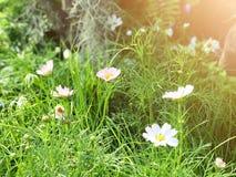 Foyer sélectif de fleur blanche de cosmos et fond de tache floue image libre de droits