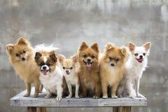 Foyer sélectif sur le petit chien de chiwawa de brun de corps et sa famille Image libre de droits