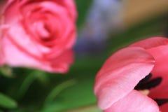 Foyer sur la tulipe dans le macro Photos libres de droits