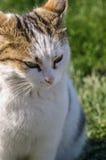Foyer sur le chat de visage Photos stock