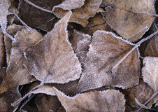 fozen leaves Arkivbild