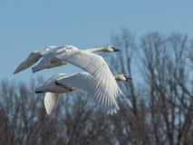 Paar Vliegende Zwanen Royalty-vrije Stock Foto