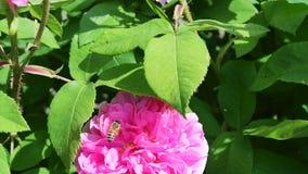 120fps会集从一朵桃红色玫瑰的蜂蜜蜂慢动作英尺长度花粉 股票录像