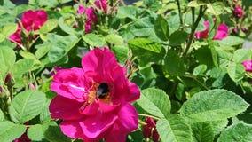 120fps会集从桃红色玫瑰的Bumble蜂慢动作英尺长度花粉 影视素材