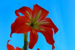 Frühlingsblume mit den roten gelben Blumenblättern und den großen Stempeln und Staubgefässe gegen den blauen Himmel stockfotografie