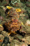 Fräknig frogfish i Ambon, Maluku, Indonesien undervattens- foto Royaltyfria Foton