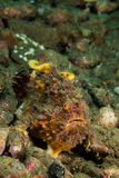 Fräknig frogfish i Ambon, Maluku, Indonesien undervattens- foto Royaltyfri Fotografi