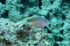 fräknig hawkfish arkivbilder