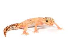 främre geckowhite för bakgrund Royaltyfria Foton