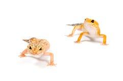 främre geckowhite för bakgrund Royaltyfri Fotografi