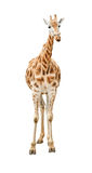 främre giraffsikt för utklipp Fotografering för Bildbyråer