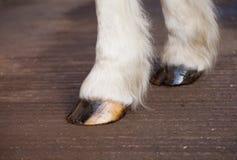 Främre hästklövar klädde med olja för fuktighet Arkivbilder