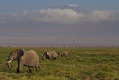 främre kilimanjaro för elefanter royaltyfri bild