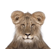 främre lionwhite för bakgrund Royaltyfria Bilder