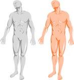 främre mänsklig manlig för anatomi vektor illustrationer