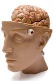 främre mänsklig sidosikt för hjärna Arkivbilder