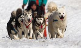 Främre sikt av att springa för hundsläde royaltyfri bild