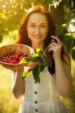 Främre sikt av attraktiva rävaktiga kvinnliga plockningkörsbär från träd Arkivfoto
