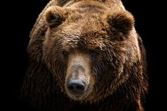 Främre sikt av brunbjörnen som isoleras på svart bakgrund Stående av den Kamchatka björnen arkivfoto