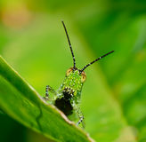 Främre sikt av den gröna gräshoppan med den svarta pricken som hänger på betesmark Arkivbild