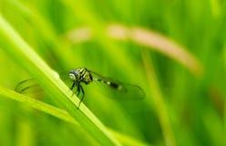 Främre sikt av en slända som på rymmer ett gräs royaltyfri bild