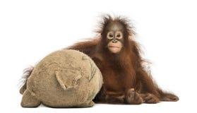Främre sikt av en ung Bornean orangutang som kramar dess välfyllda leksak för säckväv Arkivbild