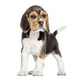 Främre sikt av ett beaglevalpanseende som ser kameran royaltyfri foto