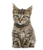 Främre sikt av ett europeiskt Shorthair kattungesammanträde royaltyfri fotografi