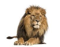 Främre sikt av ett lejon som ligger, PantheraLejonet, 10 gamla år arkivfoton