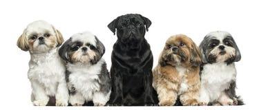 Främre sikt av hundkapplöpning i rad, sitta som isoleras royaltyfri foto