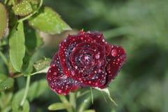 Främre sikt av mörkt - röd ros med daggdroppar royaltyfria bilder