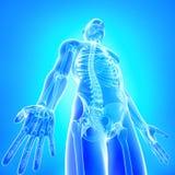 Främre sikt av röntgenstrålen av den male huvuddelen i blue Arkivbilder