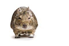Främre sikt för fet hamster som isoleras på vit Royaltyfri Bild