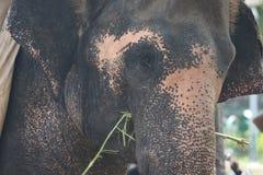 Främre sikt för indisk elefant Arkivbilder