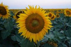 Främre sikt för solros Fotografering för Bildbyråer