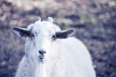 Främre sikt för vit gullig get Fotografering för Bildbyråer
