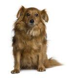 främre sittande sikt för korsninghund Royaltyfria Foton