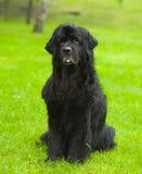 Främst Newfoundland hund Royaltyfri Fotografi