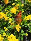 Fråga Mark Butterfly arkivbilder