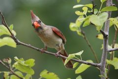 frågvis kardinal royaltyfria foton