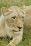 Frågvis lejoninna Royaltyfria Bilder