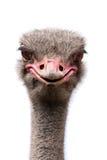 frågvis ostrich Arkivbilder