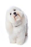 Frågvis vit hund Arkivbild