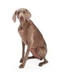 Frågvist Weimaraner hundsammanträde Fotografering för Bildbyråer