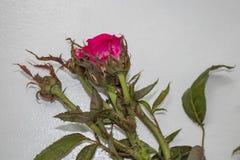 Från en buske som smittades med en virus som kallades steg rosa rosettspridning av mycket små kvalsterar som bars av vinden arkivbilder