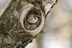 Sparrow i en ihålig tree Arkivfoto