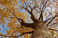 Från stammen till kronan av den Zelkova serrataen i höstfärg - fotografering för bildbyråer