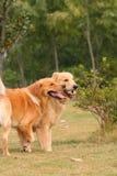 Frère de chien d'arrêt d'or Photographie stock